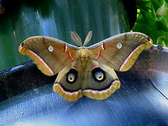 Polyphemus Moth, unknown