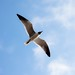 South view of a Laughing Gull