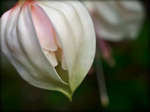 pink white flora fuchsia bud fa anawesomeshot petaledge