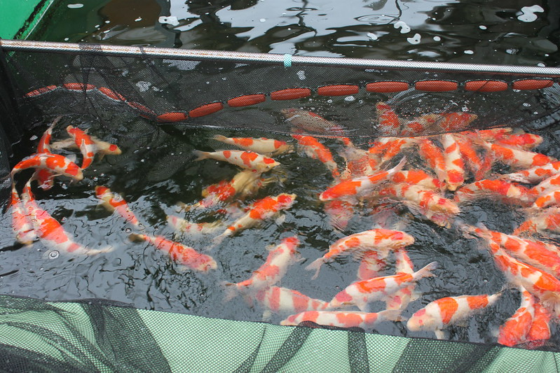 Selcting @Dainichi Koi farm
