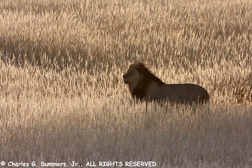 Silhouetted Lion in Auob River golden grasses IMG_2024