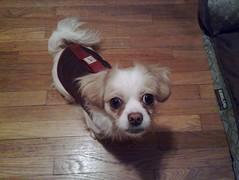 dog breed, animal, dog, pet, chinese imperial dog, carnivoran,
