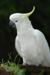 parakeet(0.0), cockatoo(1.0), animal(1.0), wing(1.0), white(1.0), pet(1.0), sulphur crested cockatoo(1.0), fauna(1.0), beak(1.0), bird(1.0),