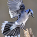 Mr.Blue Jay!