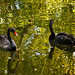 Two black swans swimming in a pond