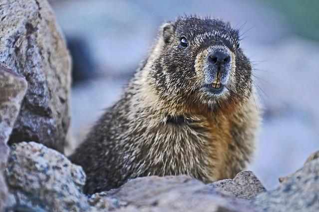 Marmoth
