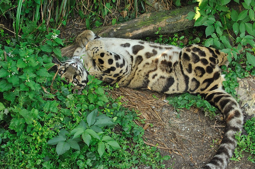 Clouded Leopard Rolling on the Ground