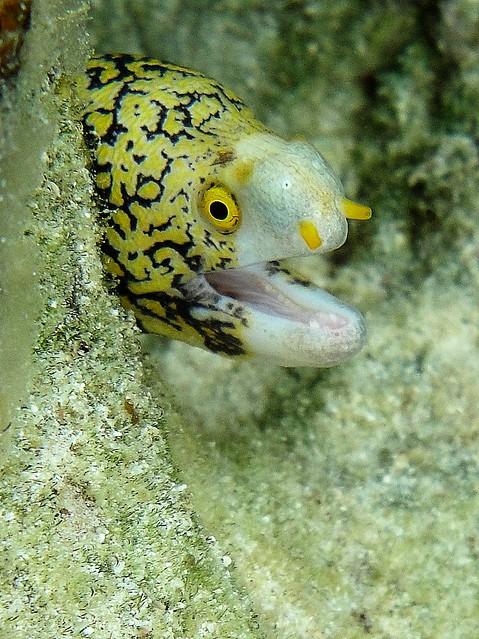 snowflake eel Flickr - Photo Sharing!