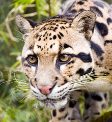 animal, big cats, cheetah, leopard, mammal, fauna, close-up, ocelot, whiskers, wildlife,