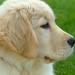 Ronan - puppy photograph