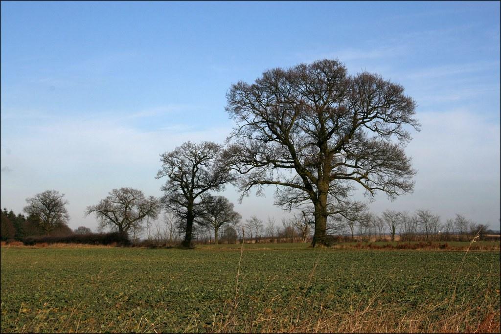 Three Trees Near Subury, Suffolk