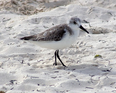 gull(0.0), animal(1.0), sand(1.0), wing(1.0), fauna(1.0), close-up(1.0), red backed sandpiper(1.0), calidrid(1.0), sandpiper(1.0), beak(1.0), bird(1.0), seabird(1.0), wildlife(1.0),