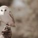 Barn Owl by KayVee.INC