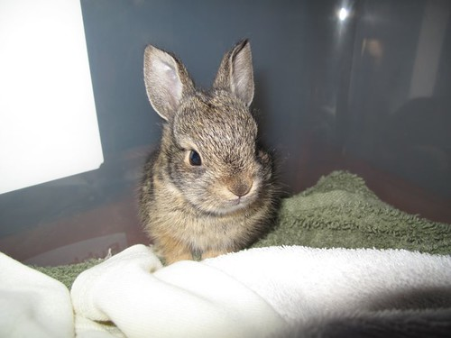 Baby bunny, Mary Cummins, Animal Advocates