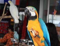 在曼谷的札都甲市集販售的鸚鵡(可麗斯汀拍攝)