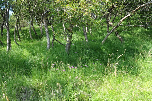 hólar cornflower centaureamontana carnea honningknoppurt cetaurea