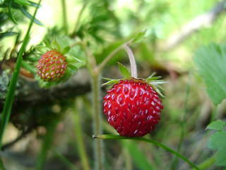 Wild strawberry portrait
