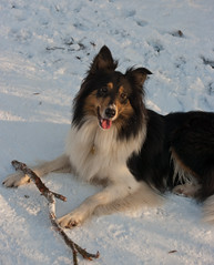 german spitz(0.0), phalã¨ne(0.0), spaniel(0.0), papillon(0.0), icelandic sheepdog(0.0), dog breed(1.0), animal(1.0), dog(1.0), mammal(1.0), scotch collie(1.0), shetland sheepdog(1.0),