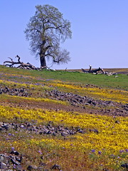 Old oak on a wildflower covered hill