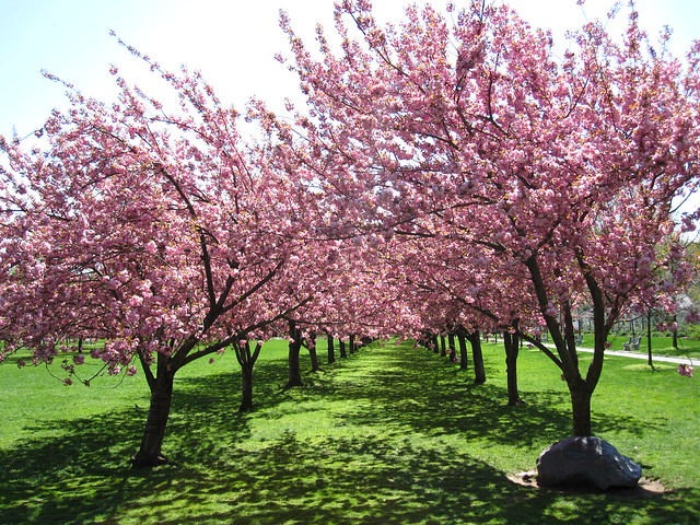 The Prunus 'Kanzan' cherry trees on Cherry Esplanade and Cherry Walk are beginning to bloom! Photo by Rebecca Bullene.