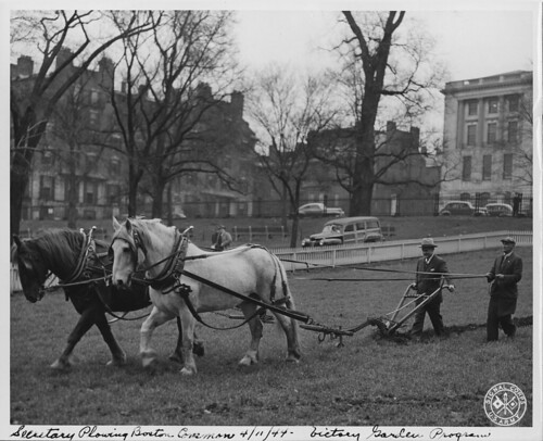 Victory Garden Program. Secretary Plowing Boston Common 04/11/1944
