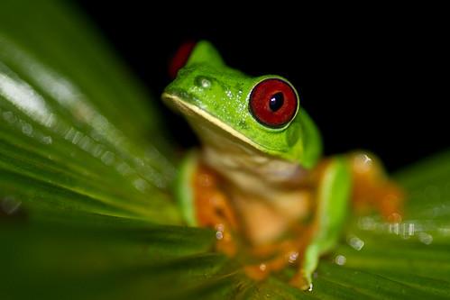 氣候變遷可能對上萬種物種產生毀滅性的影響,常見、珍稀或瀕危物種都難逃一劫,包括紅眼樹蛙在內。攝影:Brian Gratwicke。
