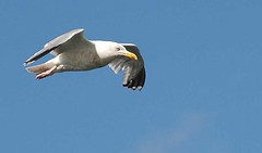 Seagull 0706 0061