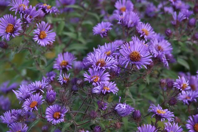 Asters Flowers Purple Purple Stemmed Aster Flowers