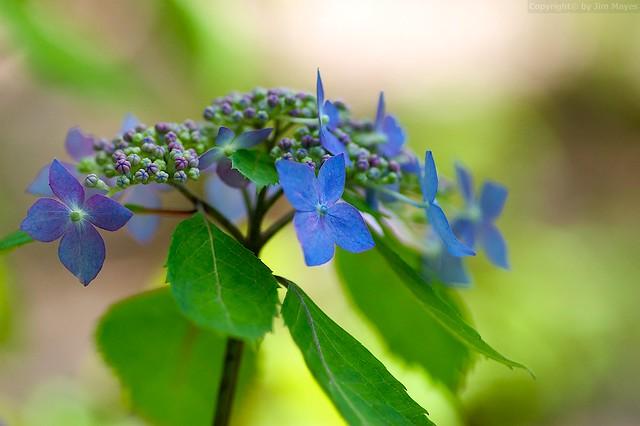 Hydrangea macrophylla serrata 'kurohime'