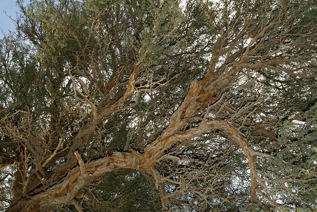 Camel Thorn Tree Camel Thorn Tree Sesriem Canyon