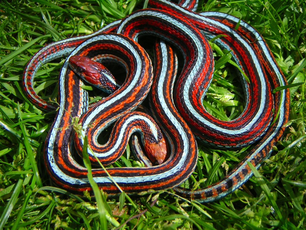 Mating,Orange Male And Red Female San Francisco Garter -3546