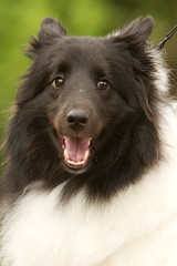dog breed, animal, dog, pet, german spitz, german spitz mittel, carnivoran, shetland sheepdog,