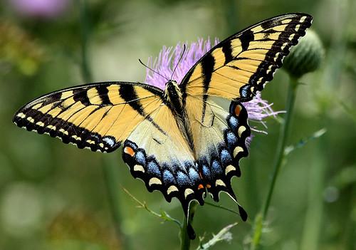 texas butterflies grapevine easterntigerswallowtail papilioglaucus getrdun beautifulworldchallenges horseshoetrailspark