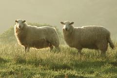 Sheep - 6