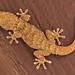 Typical Geckos - Photo (c) Arnaldo Gutiérrez González, some rights reserved (CC BY-NC)