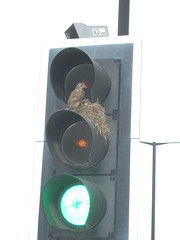 Traffic light thrush 1 by nabil.abbas