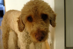 toy poodle, dog breed, animal, dog, schnoodle, pet, poodle crossbreed, dandie dinmont terrier, lakeland terrier, cockapoo, goldendoodle, carnivoran,