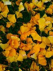 Gold petals