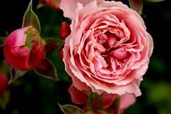 Rose_Knospe