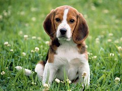 hound(0.0), puppy(0.0), dog breed(1.0), animal(1.0), harrier(1.0), dog(1.0), welsh springer spaniel(1.0), treeing walker coonhound(1.0), english foxhound(1.0), american foxhound(1.0), pet(1.0), pocket beagle(1.0), basset artã©sien normand(1.0), finnish hound(1.0), hamiltonstã¶vare(1.0), estonian hound(1.0), beagle-harrier(1.0), drever(1.0), serbian tricolour hound(1.0), carnivoran(1.0), beagle(1.0),