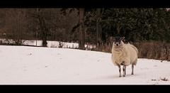 Hi sheep