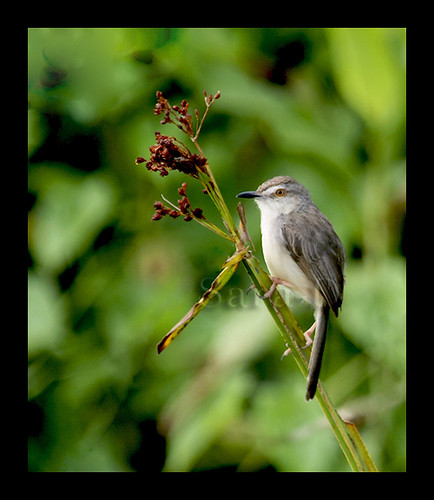 White-browed Prinia