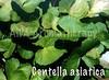 Hydrocotyle asiatica (Centella)