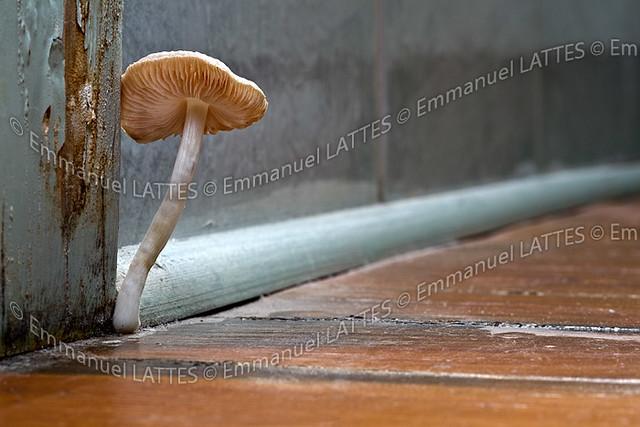 champignon de type myc ne mycena sp poussant sur un parquet flickr photo sharing. Black Bedroom Furniture Sets. Home Design Ideas