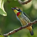 Coppersmith Barbet - Photo (c) David Cook, some rights reserved (CC BY-NC)