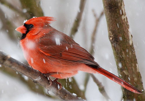 Northern Cardinal by Billtacular