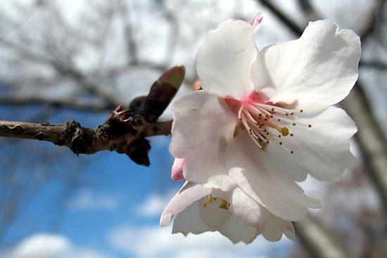Prunus sargentii 'Fudansakura'