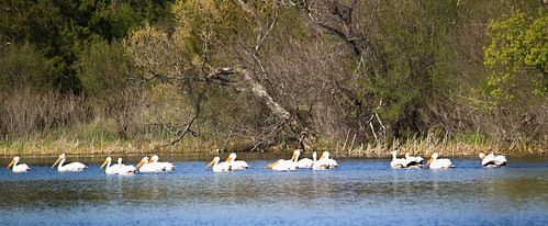 photoshopelements pelicanpelicansprairierahnlaketrippcountysouthdakotalakewaterbirds