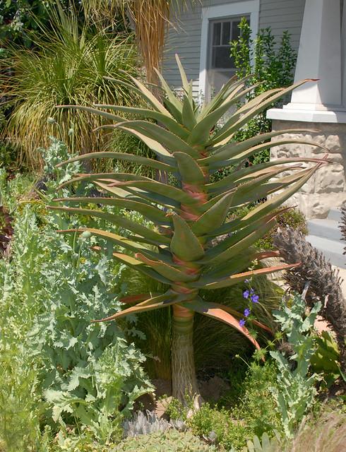 Aloe 'Hercules'