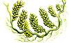 Caulerpa prolifera, Caulerpa prolifera, http://commons.wikimedia.org/wiki/Kunstformen_der_Natur